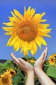 Sunflowers and children's hands — Stock fotografie