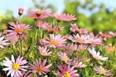 Field of pink camomiles — Stockfoto