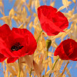 Three red poppies — Stock Photo