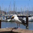 Seagull and yachts — Stock Photo
