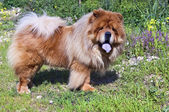 Young Chow Chow — Stock Photo