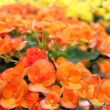 Bright redheaded begonia flowers — Stock Photo
