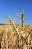 Spikelets of ripe wheat — Stock Photo