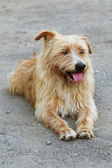 Shaggy purebred dog — Stock Photo