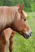 Czerwony koń jest wypas na zielonej łące — Zdjęcie stockowe