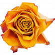 Stock Photo: Big bud dried orange roses