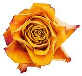 Big bud dried orange roses — Stock Photo