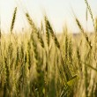 Stock Photo: Spikes maturing wheat