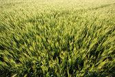 Spikar av vete flyttar — Stockfoto