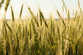 Spikes maturing wheat — Stock Photo