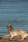 Goat Asleep Against Blue Shutter — Stock Photo