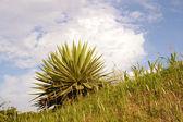 Agave-planta-de-the-hill — Foto de Stock