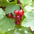 Red currant — Stock Photo #11631070