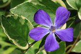 Purple Vinca Major Flower with Varigated Foliage — Stock Photo
