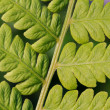 Fern Frond Up Close — Stock Photo