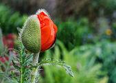 Oriental Poppy Opening — Stock Photo
