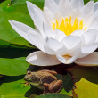 Frog and White Water Lily — Stock Photo
