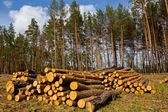 Heap of pine tree trunks on a forest glade — Stock Photo