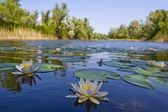 Lake with lilies — Stockfoto