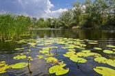 Small lake with lilies — Stok fotoğraf
