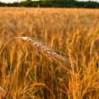 Wheat field — Foto Stock #11033833