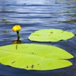 Alone yellow water lily — Stock Photo