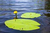 Alone yellow water lily — Stock Photo