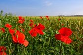 Red poppies in a field — Stock Photo