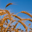 Wheat ears on a blue sky background — Stock Photo
