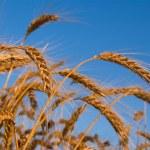 Wheat ears on a blue sky background — Stock Photo