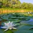 River with white lilies - Stock Photo