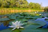 River with white lilies — Stock Photo