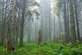 Misty pine tree forest — Stock Photo