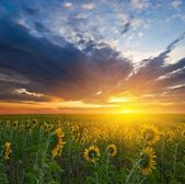Sunflower field at the sunset — Stock Photo