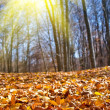 Dry red leaves carpet in a autumn forest — Stock Photo