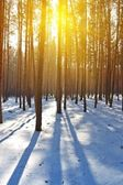 Evening winter pine tree forest — Stock Photo