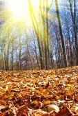 Tapete vermelho de folhas secas em uma floresta de outono — Foto Stock