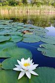 Beautifull water-lily on a lake — Stock Photo