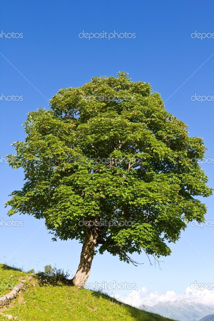 Beautiful green tree on a hill slope — Stock Photo #12024925