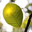 Green leaf in a rays of sun — ストック写真