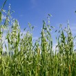 Green Oat field — Stock Photo