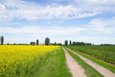 Road through flowering rapeseed fields — Stock Photo