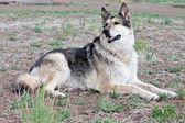 German Shepherd Mixbreed dog — Stock Photo