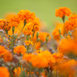 Stock Photo: Orange Marigolds faded into background