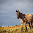 Beautiful Horse with Morning Sun in Hawaii — Stock Photo