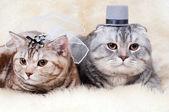Beautiful cats — Stock Photo