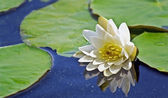 Beautiful water lilies blooming — Stock Photo