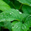 Close up of water drops on fresh green leaves — 图库照片