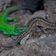 Two lizards lie on the stone. — Stock Photo
