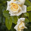 Stock Photo: Tea rose